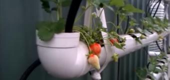 Vă plac căpșunile ? Încercați o producție proprie